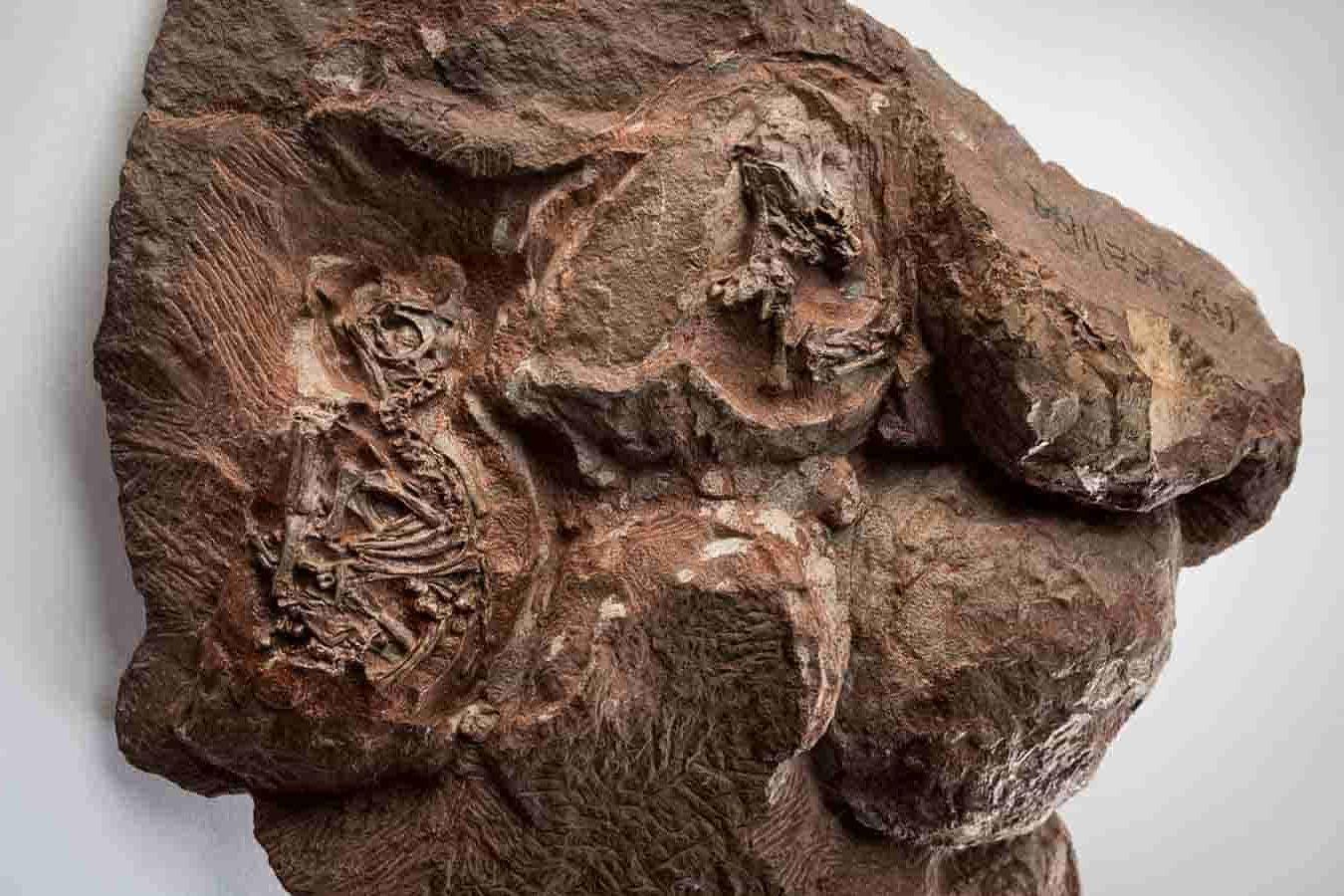 Embrioni de dinozauri - fosile